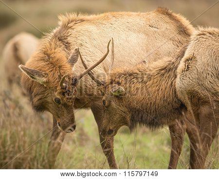 Elk, Juvenile Male, Color Image, California, USA
