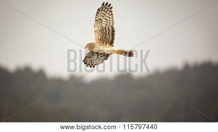 Wild Hawk Flying Over Forest, Color Image