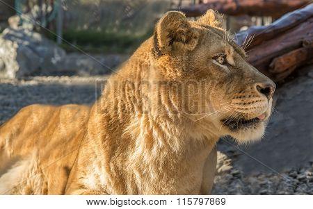 Lion Portrait, Color Image