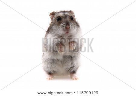Small Dzungarian Hamster