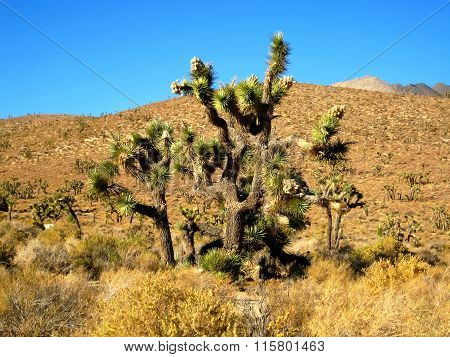 Joshua tree forest (California, USA)