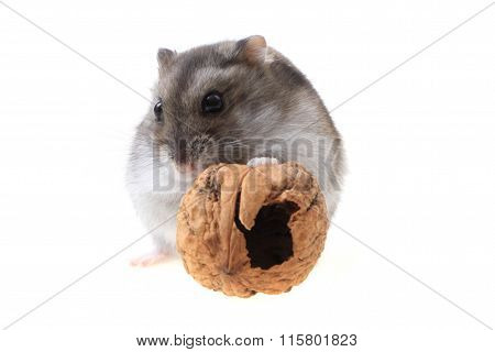 Young Dzungarian Hamster And Walnut