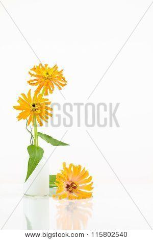 3 Orange Cactus Flowered Zinnia