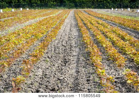 Germination Of Oak Tree  In The Field