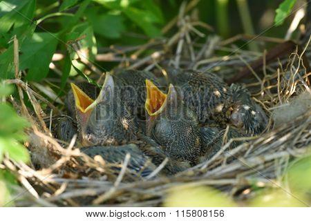 Thrush chicks in the nest in spring