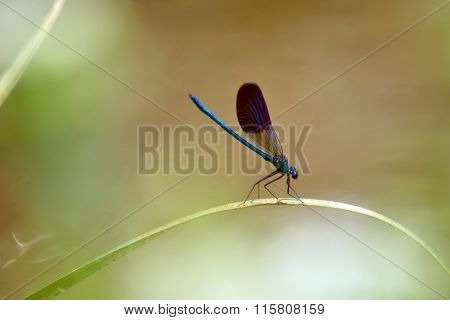 dragonfly outdoor (coleopteres splendes )