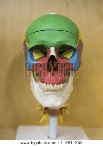 Side view of Human Skull (for basic medical education for clinics & Schools)