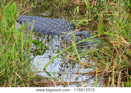 Alligator Hiding In The River