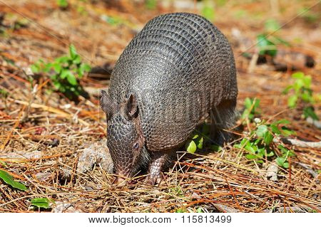 Armadillo Near Everglades National Park