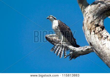 Osprey In A Tree Florida