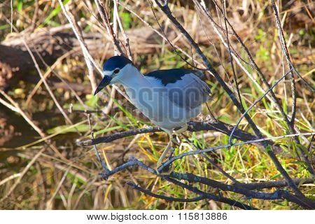Night Heron Fishing Everglades