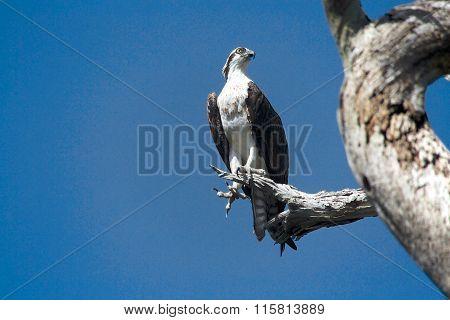 Osprey In A Tree Near Everglades