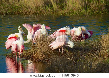Roseate Spoonbill Meeting At Everglades