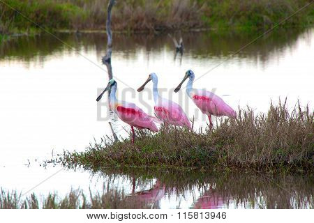 Three Roseate Spoonbill Everglades