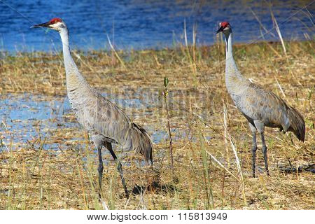 Sandhill Crane At Everglades National Park