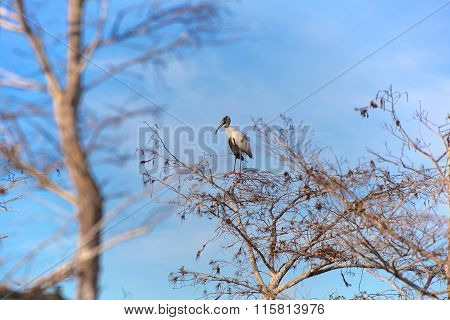 Wood Stork Alone In A Tree