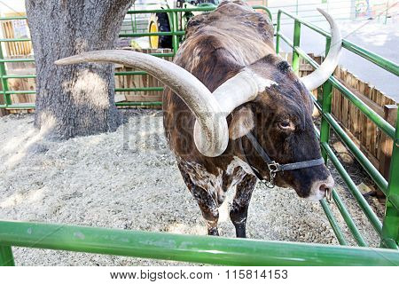 texas state fair longhorn