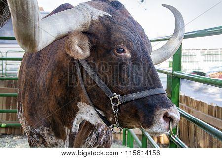 texas longhorn at the dallas fair