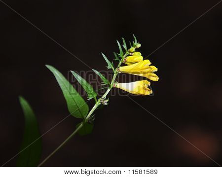 Common Cow-wheat (melampyrum Pratense)