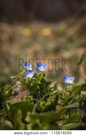 the blue colored flowers of wild Veronica