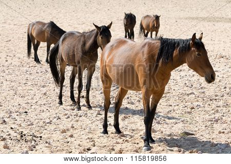 Five Wild Horses On The Way To A Waterhole In Garub Desert Namibia