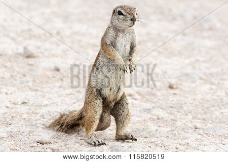 Male Ground Squirrel.