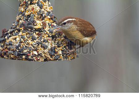 Carolina Wren (thryothorus Ludovicianus) Feeding