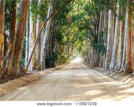 Tree Lined gravel road in South Africa