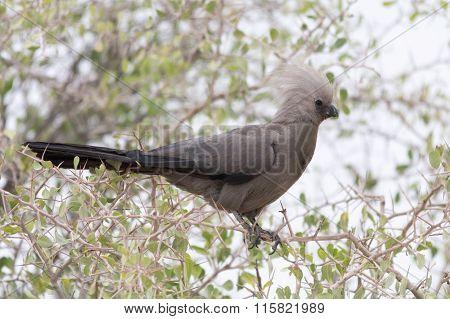 Go-away Bird In Akacia Tree
