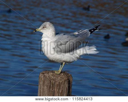 Ring-Bill Sea Gull