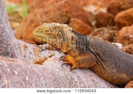 Galapagos Land Iguana Lying On A Tree Trunk On North Seymour Island, Galapagos National Park, Ecuado