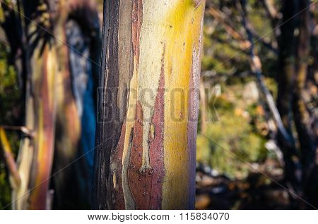 Eucalyptus Tree Trunk Texture