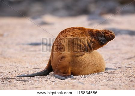Young Galapagos Sea Lion On North Seymour Island, Galapagos National Park, Ecuador