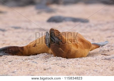 Young Galapagos Sea Lion Lying On The Beach On North Seymour Island, Galapagos National Park, Ecuado
