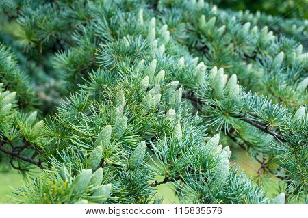 Green pine tree cones in spring