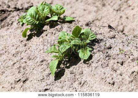Agriculture. Green potatoes