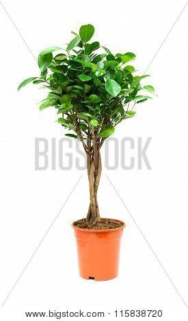 Ficus On White