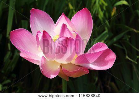 Lotus Flower In A Park