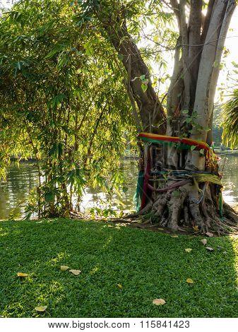 Holly Bodhi Tree