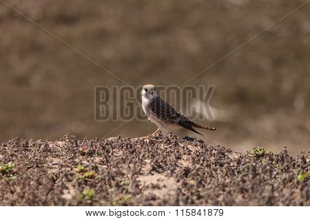Female American kestrel bird, Falco sparverius