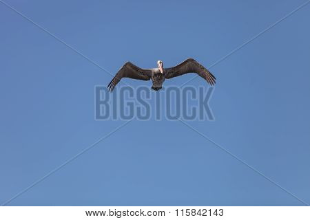 Brown pelican, Pelecanus occidentalis,