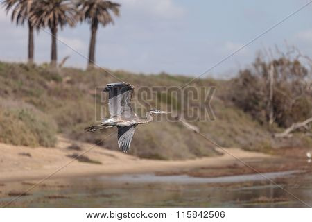 Great blue heron, Ardea herodias, bird