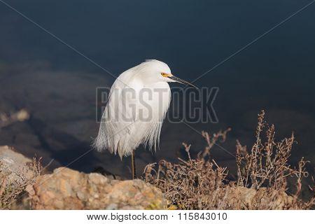 Snowy Egret, Egretta thula, bird