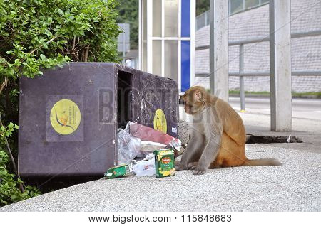 Monkey Eating From A Rubbish Bin At Kam Shan Country Park, Kowloon
