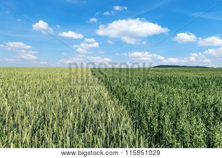 Wheat field next to a field with green oat
