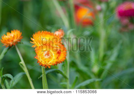Helichrysum Bracteatum Blooming In Garden