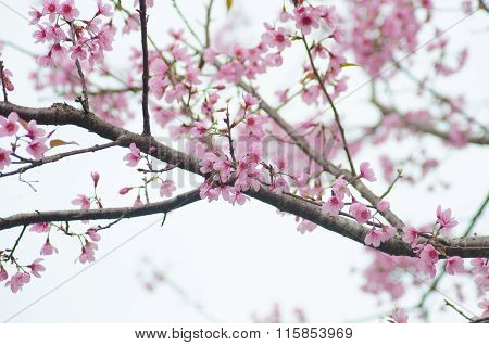 Wild Himalayan Cherry Bloomimg On Tree At Phu Lom Lo Mountain, Loei Provice, Thailand