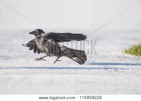 Crow Corvus corone on the ice during the Winter