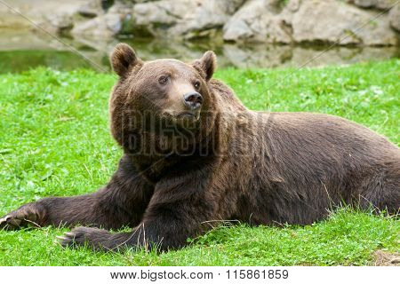 Close up of a grizzly bear, Pyrenees, France. Bear in captivity.
