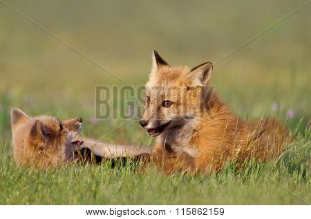 Young Foxes Playing
